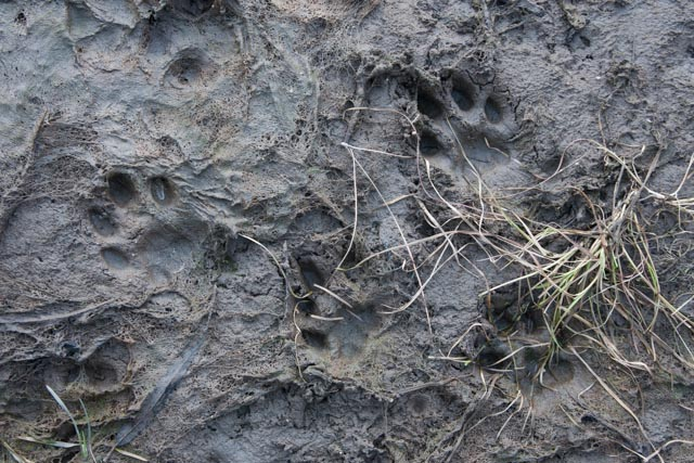 All four feet of a mountain lion where it landed in soft mud after leaping off of a rock and over a lead of water on the edge of the river.