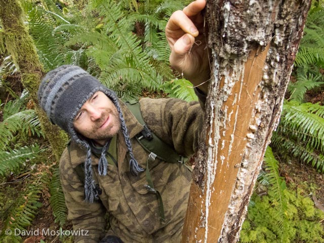 Trever Ose examines some elk hair on an antler rub. Antler rubs are an important scent marking behavior of bull elk associated with the breeding season. After abraiding the bark of the tree with his antlers, the elk will then rub the tree with his face, shoulders and the base of his antlers to attach his scent to the tree. The scent acts as an advertisement to female elk in the area and a challenge to other males.