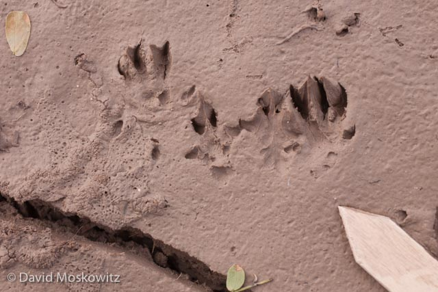 Tracks of a bounding Hispid cotton rat (Sigmodon hispidus) in mud.