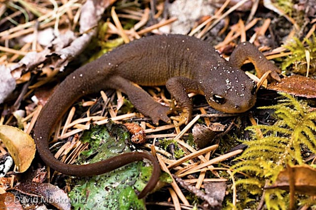 Rough-skinned Newt, Umpqua Dunes, Oregon Coast