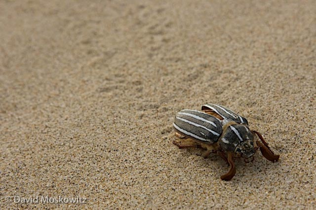 10-lined June Beetle?, Umpqua Dunes, Oregon Coast