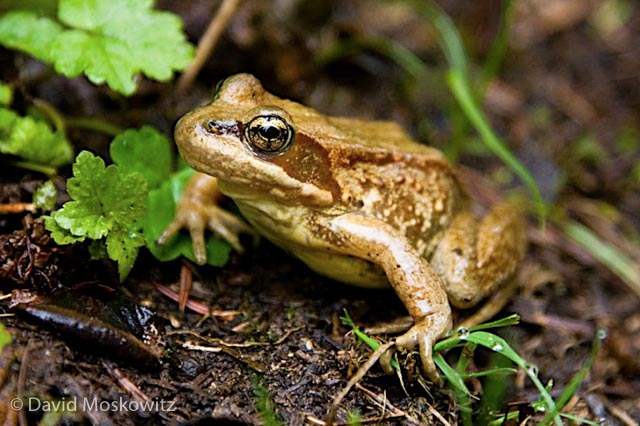 Cascades frog, Commonwealth Basin, Central Washington Cascades