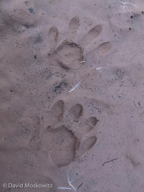 The handland tracks of a northern racoon. This species tracks didn't start appearing on the river until the lower strech of the canyon. Grand Canyon, Arizona.