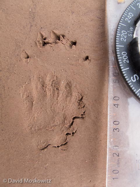 The long claws are one of the clues that this is the front foot of a striped skunk. Grand Canyon, Arizona.