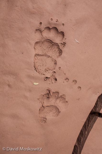 Left front (below) and hind tracks of a striped skunk. Grand Canyon, Arizona.