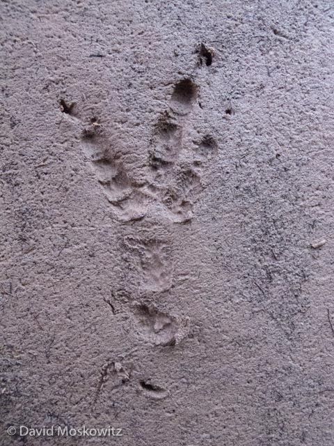 Common raven tracks, about 3.75 inches in length are common to find in and around human camps where they come to forage for scraps that humans may have left behind.