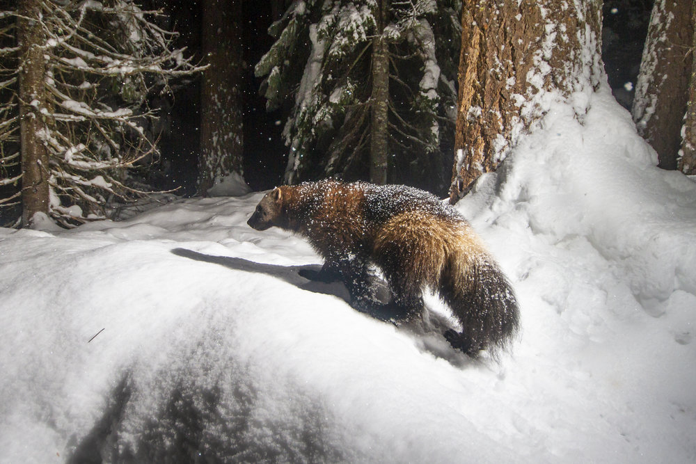 In January we got our first wolverine detection of the winter and some of the best photographs yet for the project. We believe this is the same female wolverine who we photographed last winter at a different location.