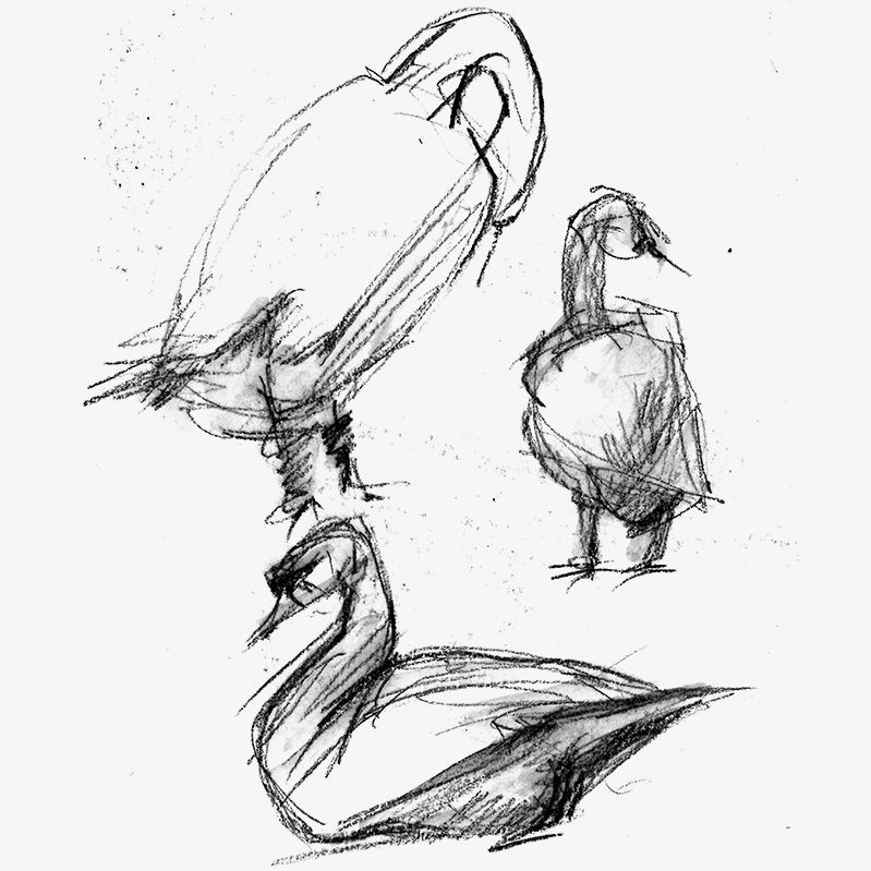 Sketches of the intimidating and surly trumpeter swans at Lake Eola in Orlando