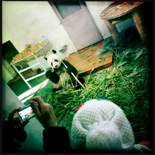 © Margaret Mitchell 2013 Person photographing the panda Edinburgh Zoo