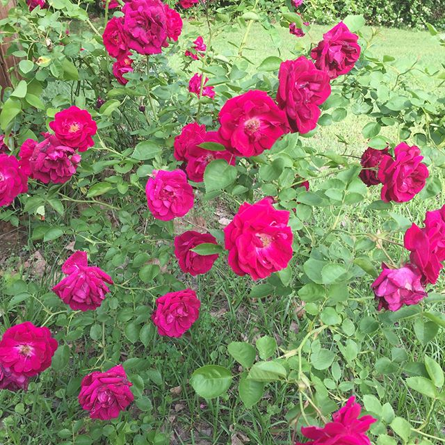 Country #roses are absolutely classic!  My yard is lovely right now! 💖