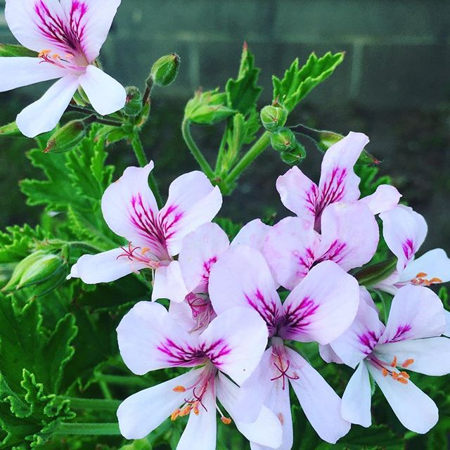 This #citronella scented #geranium plant is a first for us! So glad I planted it next to my back door. It's lovely!! 😊