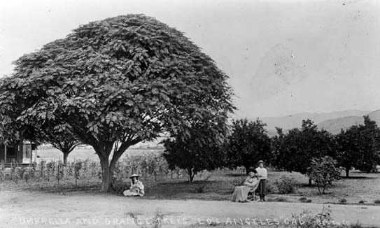 Orange groves were a ubiquitous element of the Los Angeles landscape in the late 19th Century. Virtually all of them would be gone by 1930. The 'arcadia' that had lured easterners to the Southland would soon be - well - history.