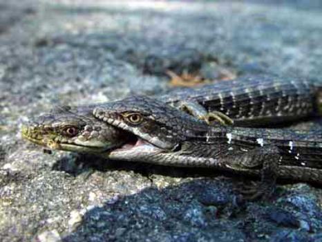 California Alligator Lizards