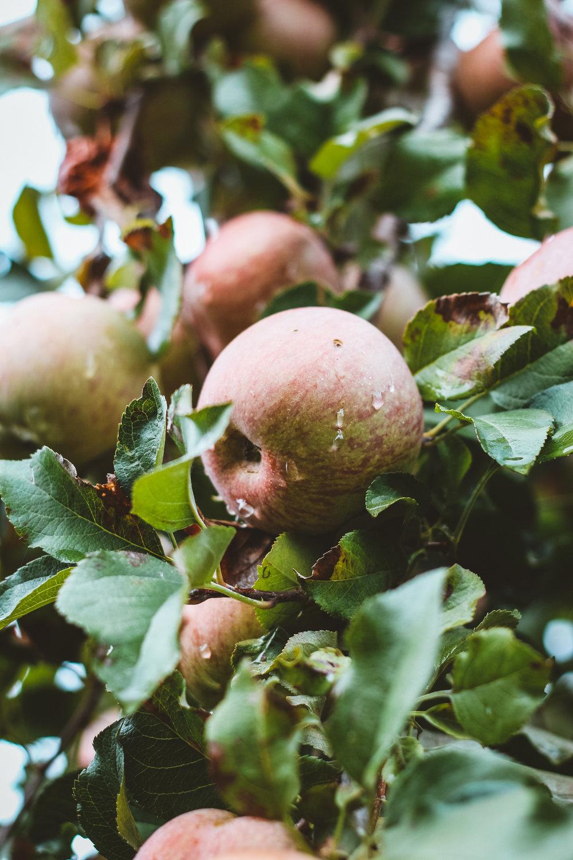 Südtirol ist bekannt für seine Vielzahl an Äpfeln.