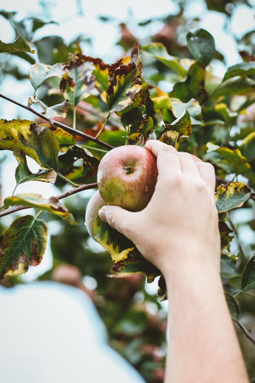 Apfel aus dem italienischen Südtirol.jpg