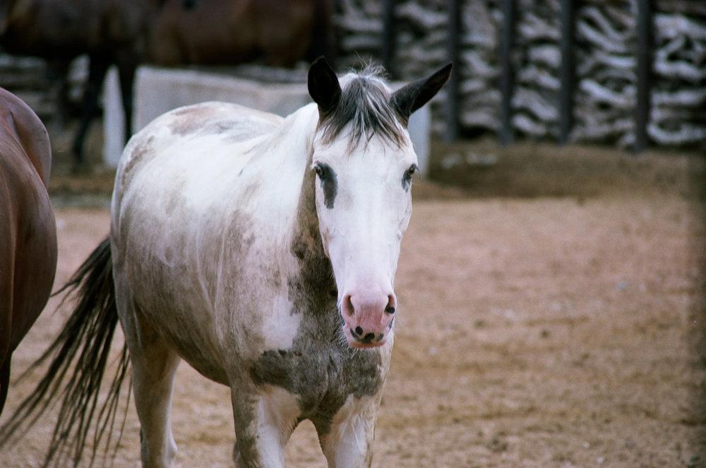 ©roeg_cohen_TV_Arz_horses_4-2014.jpg