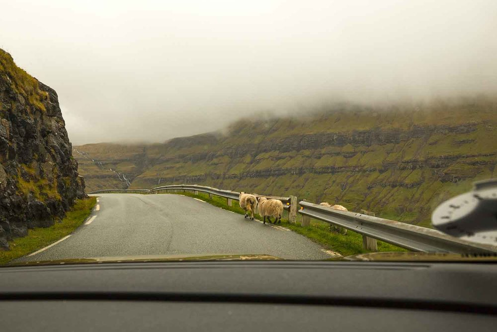 Our first Faroe sheep encounter.