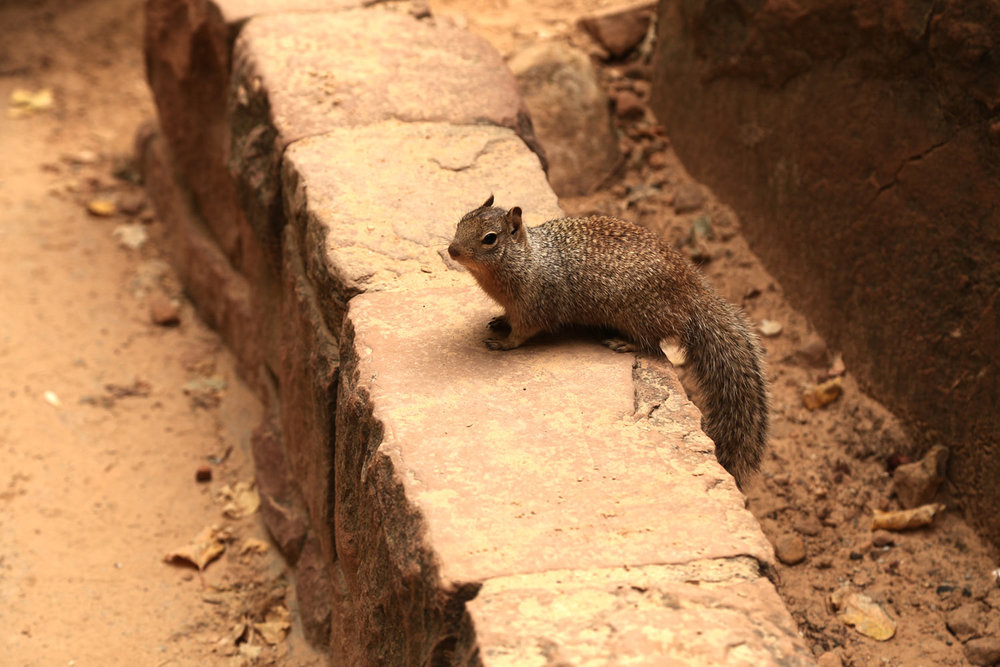 zion-squirrel.jpg