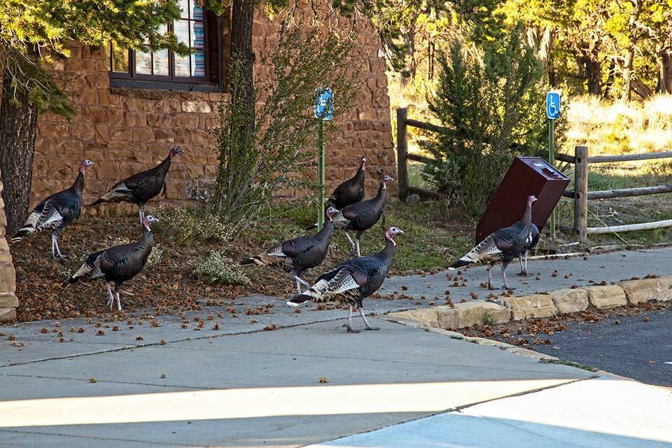 Turkeys wandering about at the visitor center.