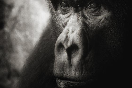 ID399970-Sad-Ape-Portrait-Matthew-J-Baker.jpg