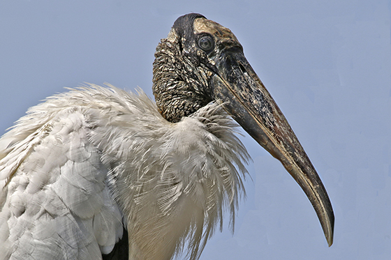 ID405285-Portrait-of-a-Wood-Stork-Sandy-Scott.jpg