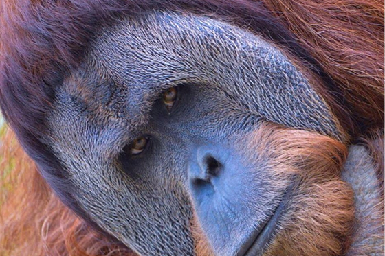 ID424660-Henry-Sumatran-Orangutan-Jennifer-Rotterman.jpg