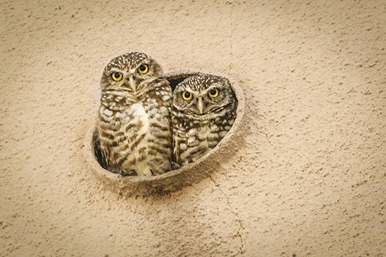 ID425652-Burrowing-Owls-Drain-Spout-Home-Mark-K-Thomas.jpg
