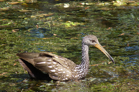 ID426103-Wading-Swimming-Fishing.-Limpkin-in-Florida-Penelope-A-Treat.jpg