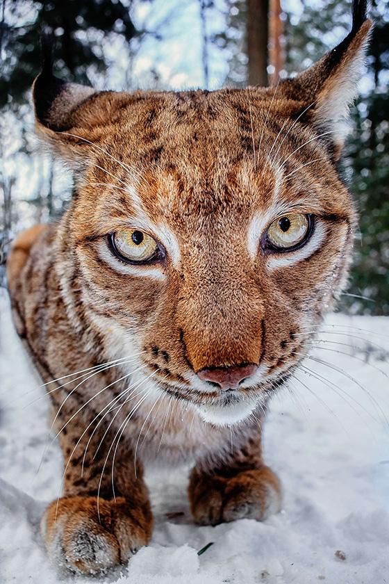 ID426217-Lynx-ahead-Stefan-Betz_NEW.jpg