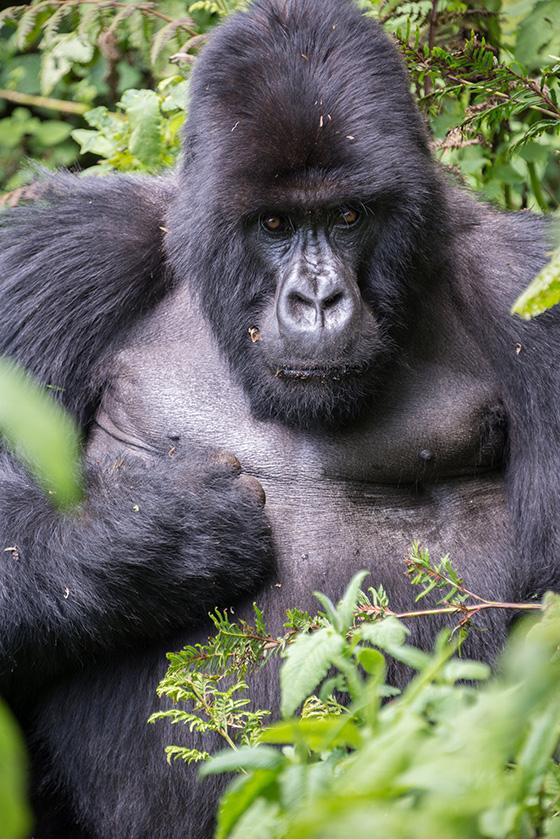 ID426264-Gorilla-on-a-mission-Elizabeth-A-Sanjuan.jpg