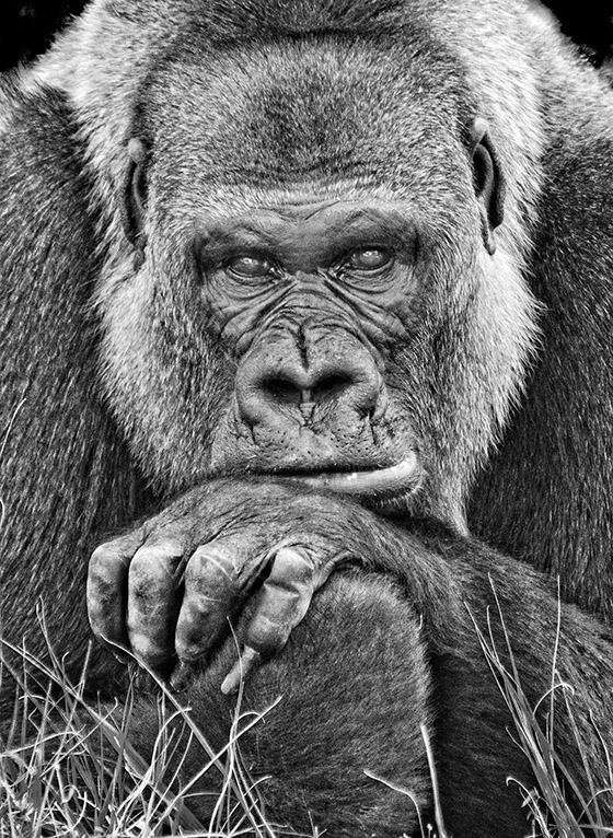 ID426284-Pensive-Primate-Jerry-Biddlecom.jpg