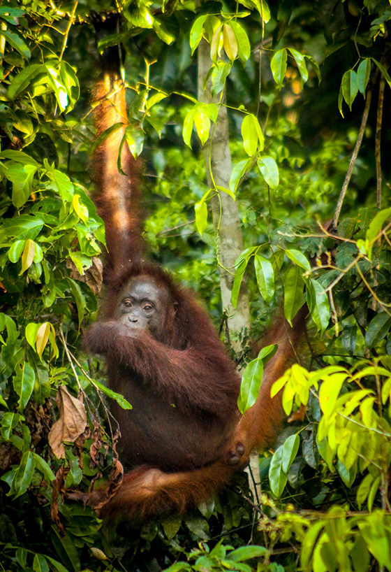 ID461512-Wild-Orangutan-Kinabatangan-Dana-Vion.jpg
