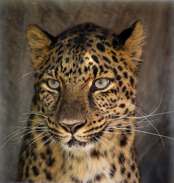 ID461551-Amur-Leopard-Nick-Hebert.jpg