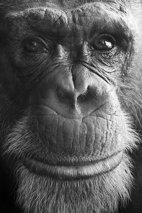 ID469188-Chimp-Portrait-Aprio-2015-Craig-Price.jpg