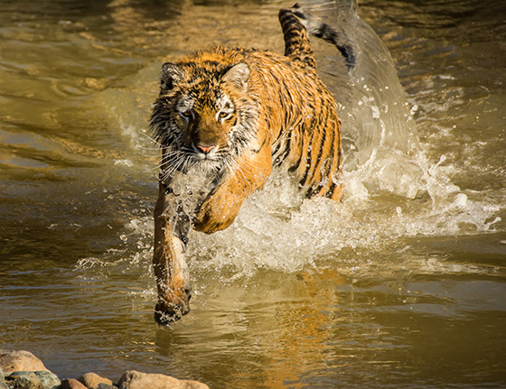 ID474082-Tiger-Splash-MaryAnne-Nelson.jpg