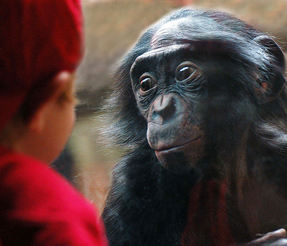 ID475053-Bonobo-Vic-Marian-Brickner.jpg