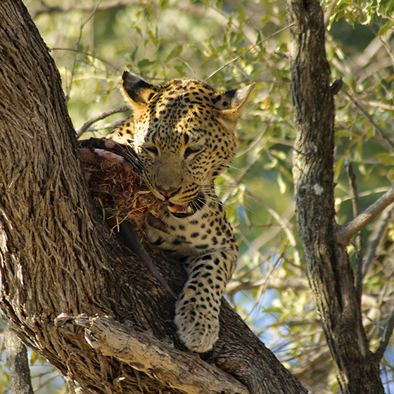 ID475063-Lunching-Leopard-Catherine-Vitale.jpg
