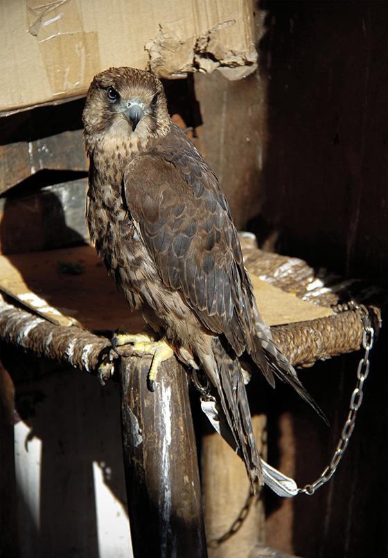 ID475064-Captive-Hawk-Carol-Erenrich.jpg