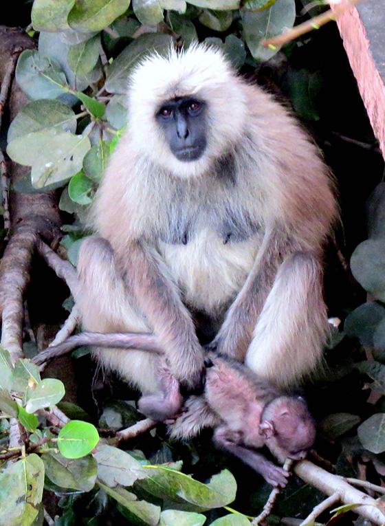 WEB_P_ID475385-White-Langur-Monkey-Patricia-L-Quinn-1.jpg