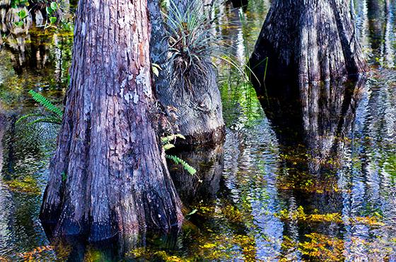 WEB_P_ID474894-Big-Cypress-Swamp-Phoenix-Marks.jpg