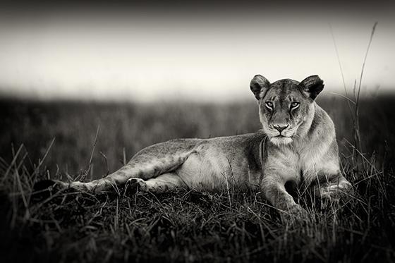 WEB_P_ID475122-Lookout-Hill-Lioness-Pekka-Jarventaus.jpg