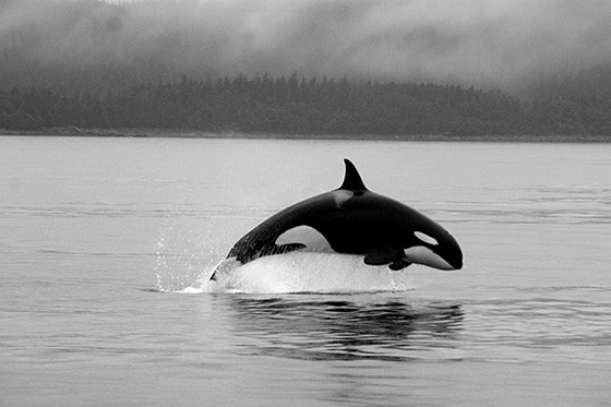 WEB_P_ID475125-Alaskan-Orca-Paula-Schoenwether.jpg