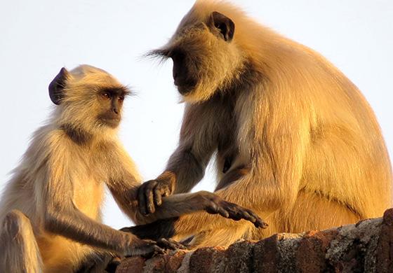 WEB_P_ID475387-Golden-Langur-Monkeys-Patricia-L-Quinn.jpg
