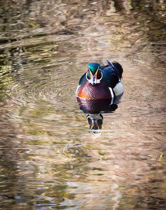 WEB_P_ID475216-Male-Wood-Duck-1-Katherine-Liepe-Levinson.jpg