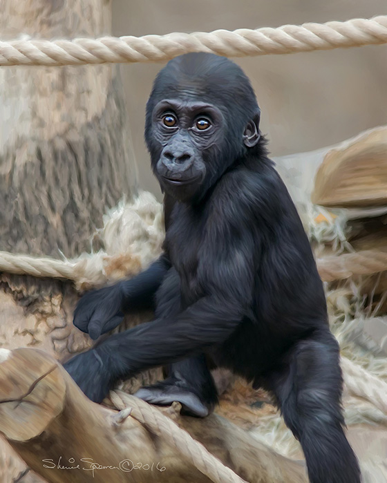 WEB_FA_ID509640-Baby-Gorilla-Sherrie-Spencer.jpg