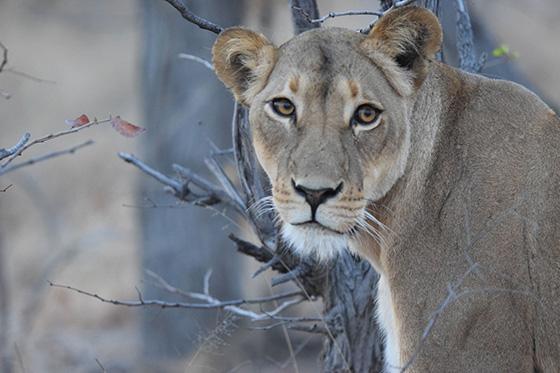 WEB_P_ID512198-Lioness-Okavango-Delya-Bobby-Jacobs.jpg