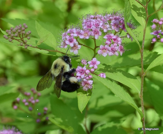 WEB_P_ID518941-Busy-Bee-E-Magnuson.jpg