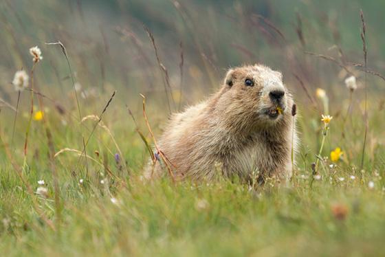 WEB_P_ID519594-Olympic-Marmot-Kirsten-Hines.jpg