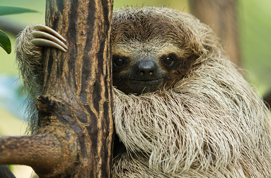 WEB_P_ID519596-Pygmy-Sloth-Kirtsen-Hines.jpg