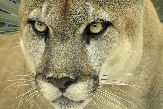 WEB_P_ID519626-Florida-Panther-Dennis-Goodman.jpg